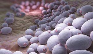kandida grybelis